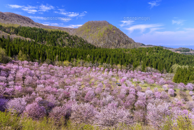 桜満開の桜峠