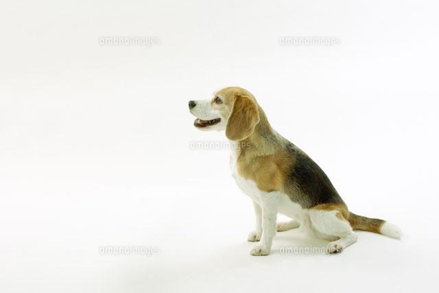 おすわりをするビーグル犬02354000010の写真素材イラスト素材