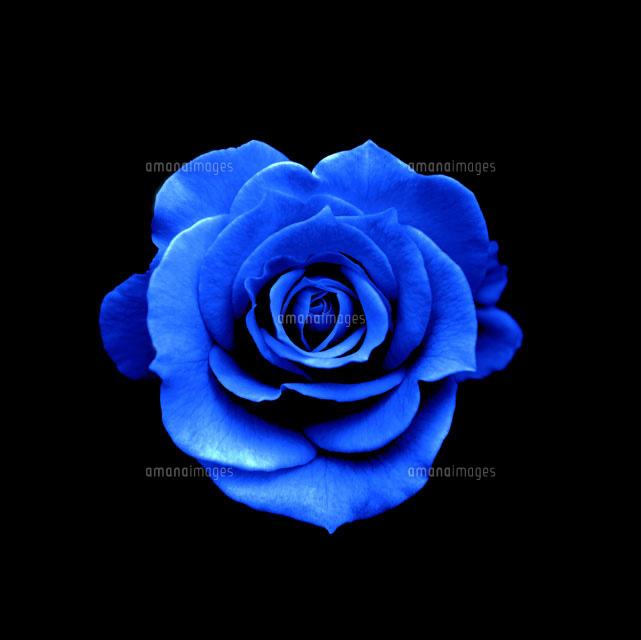 青いバラ[02387000344]  写真素...