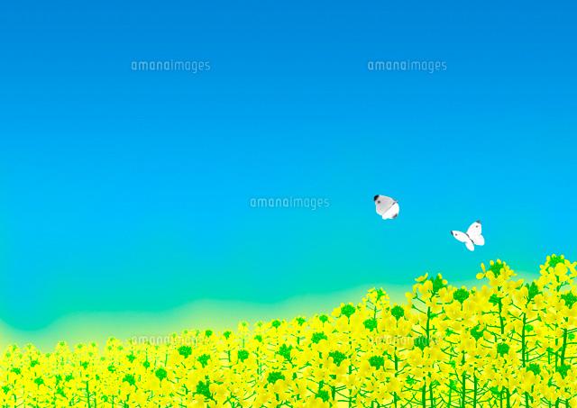 一面の菜の花畑とモンシロチョウ02411000005の写真素材