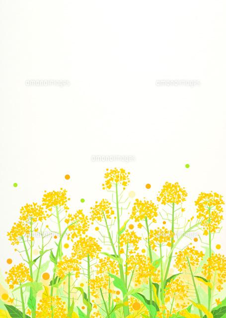 菜の花の群生02422000003の写真素材イラスト素材アマナイメージズ