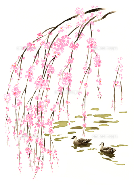 しだれ桜の枝と水に泳いでいる2羽のカモ02463001084の写真素材