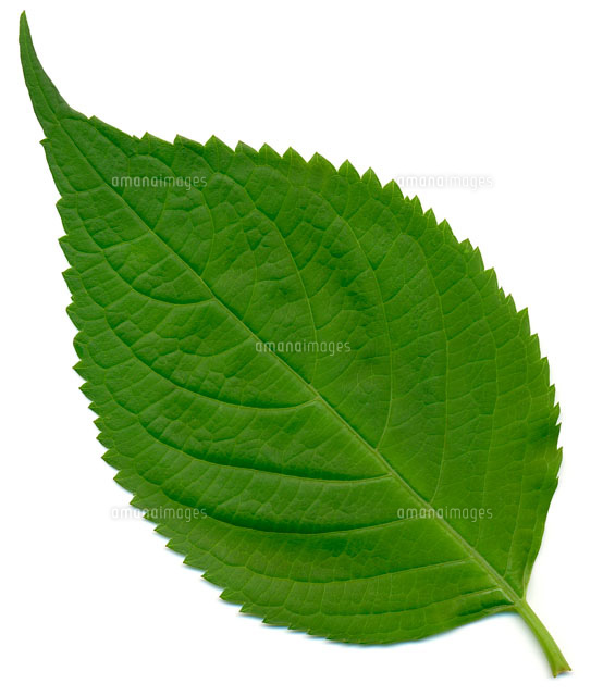 アジサイの葉[02513000004]の写...