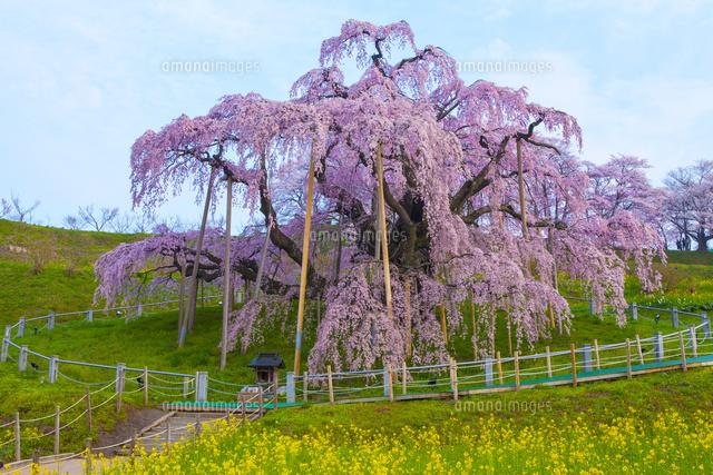 三春滝桜[02583003457]| 写真素...