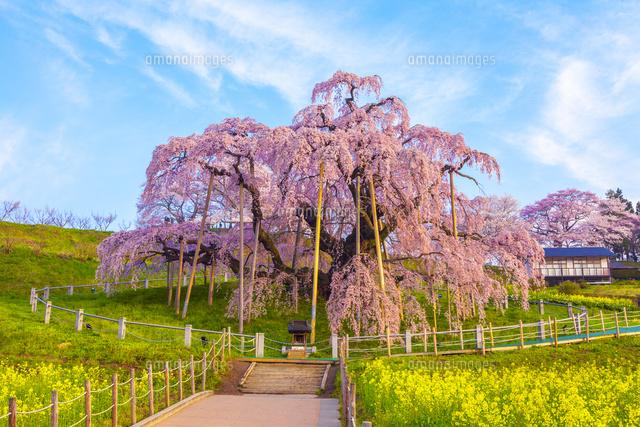 三春滝桜[02583003468]| 写真素...