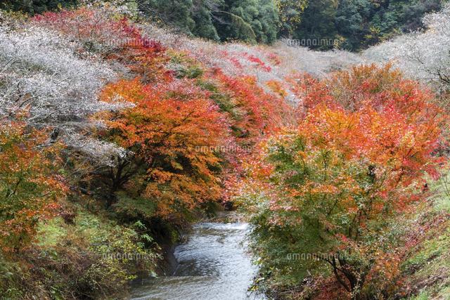 愛知 小原 の 四季 桜