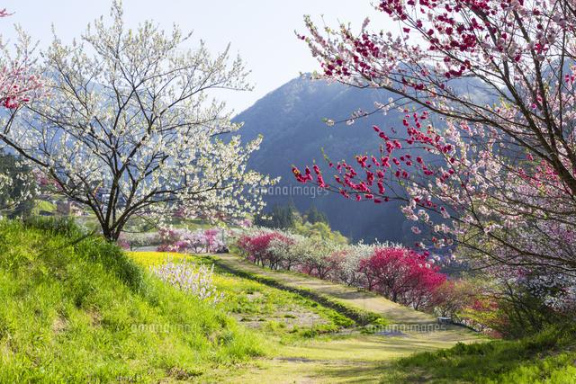 月川温泉花桃の里の花桃02583006183の写真素材イラスト素材