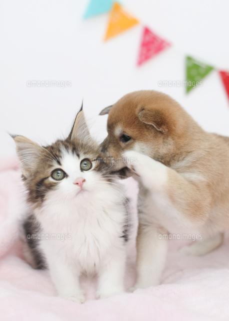 子猫とじゃれる柴犬 02673001416 の写真素材 イラスト素材 アマナ