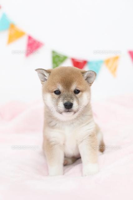 可愛い柴犬02673001425の写真素材イラスト素材アマナイメージズ