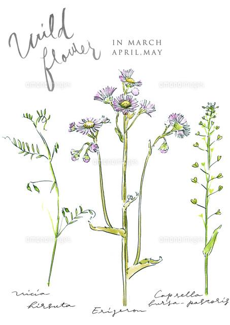 春の植物 花 野草 野の花02837001121の写真素材イラスト素材アマナ