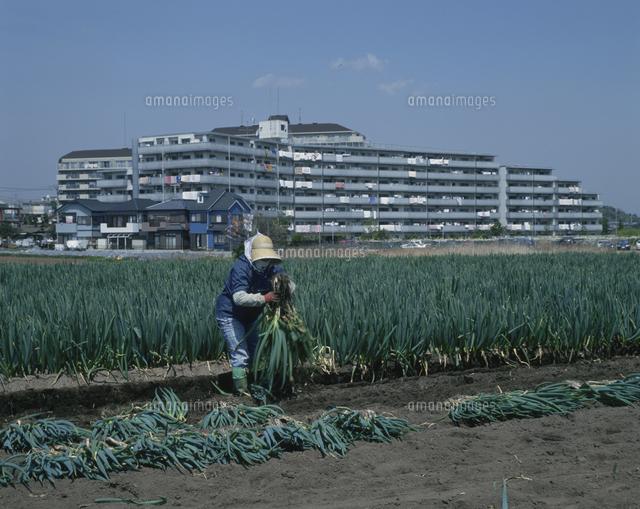近郊農業[02846000326]の写真素材・イラスト素材|アマナイメージズ
