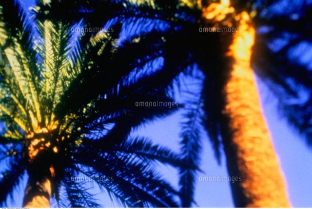 close up of palm trees 20025018666 写真素材 ストックフォト 画像