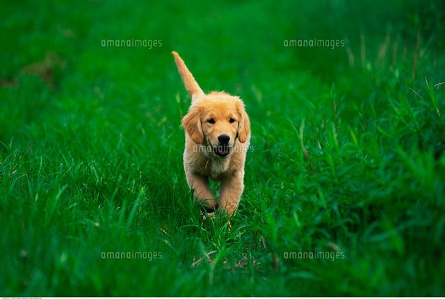 golden retriever puppy 20025071513 写真素材 ストックフォト 画像