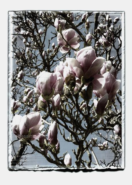 germany stuttgart magnolia flowers on tree branch against sky