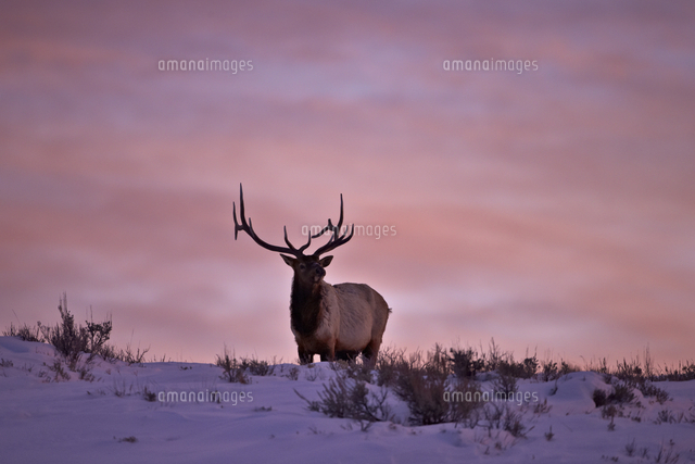 bull elk cervus canadensis at sunset in the winter yellowstone