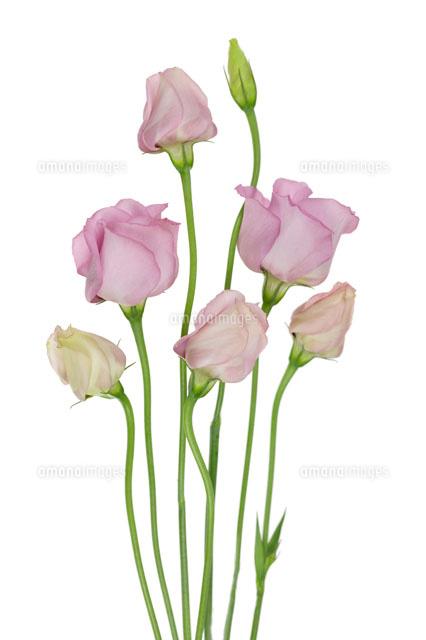 花トルコキキョウ20026003550の写真素材イラスト素材アマナ