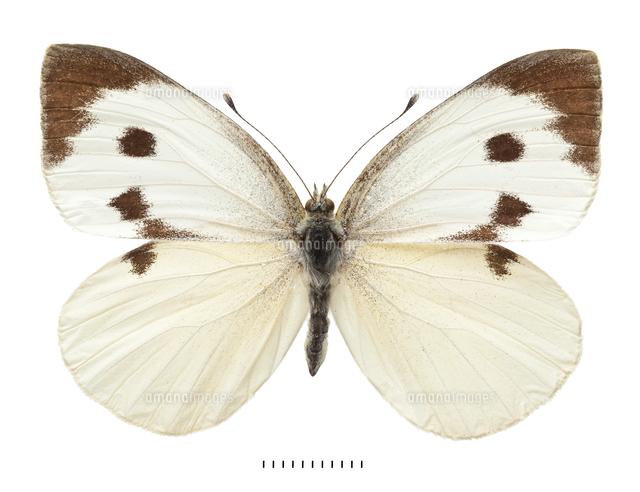 オオモンシロチョウ 標本20047002078の写真素材イラスト素材アマナ