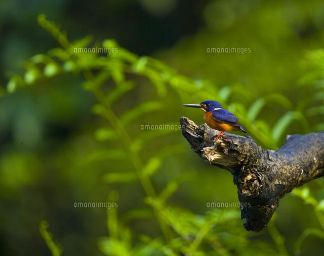 blue eared kingfisher alcedo meninting river sungai kinabatangan