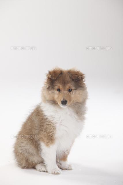 sheltie puppy 10 weeks sitting 20080006600 写真素材 ストック