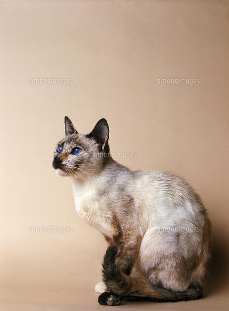 シャム猫トーティーポイント20082000374の写真素材イラスト素材