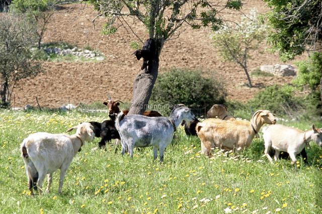 herd of goats grazing in meadow 20085013100 写真素材 ストック
