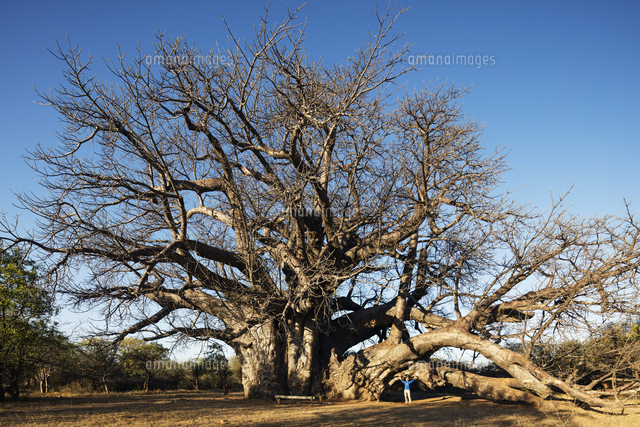 south africa limpopo south africa s largest baobab tree