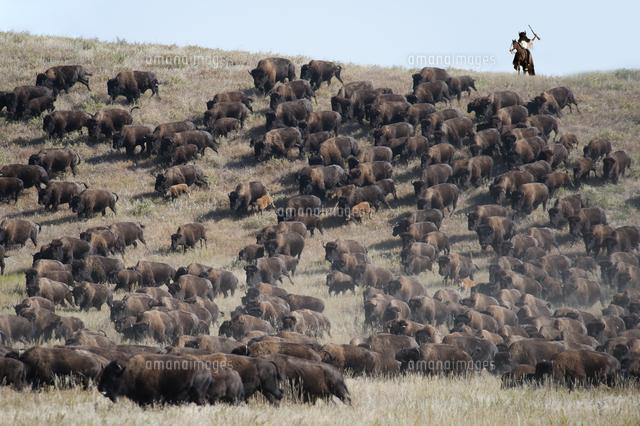 buffalo roundup in custer state park black hills south dakota usa