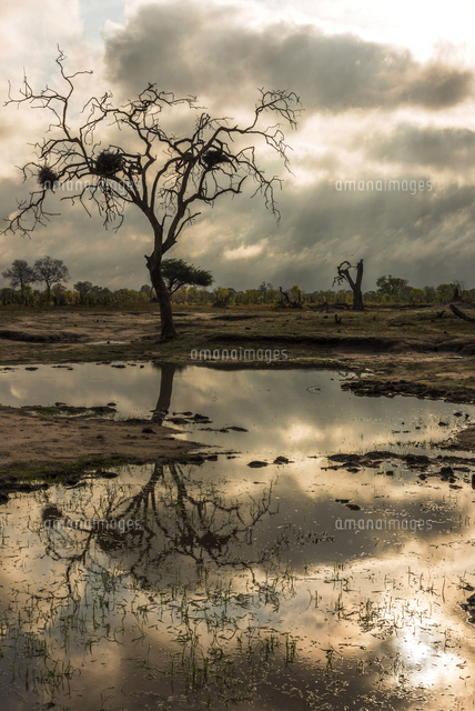 africa, Zimbabwe, Hwange National park.  Dead tree with bird's nests reflected in a waterhole.
