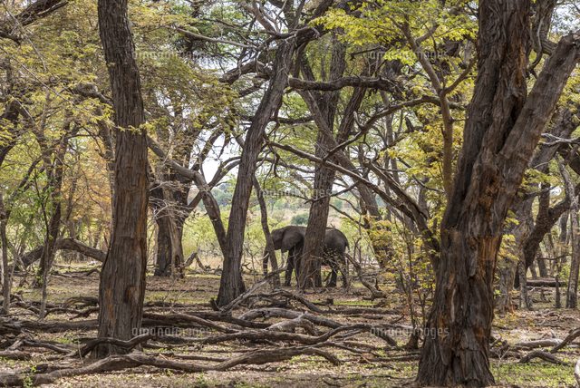 Africa, Zimbabwe, Hwange National park.  An elephant in the acacia forest