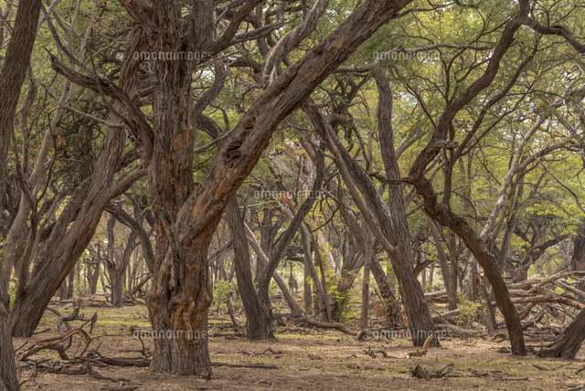 Africa, Zimbabwe, Hwange National park, in the acacia forest