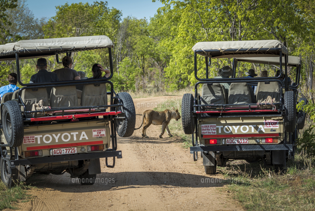 Africa, Zimbabwe, Hwange National park.  Tourists on a game drive watch a lioness from their safari