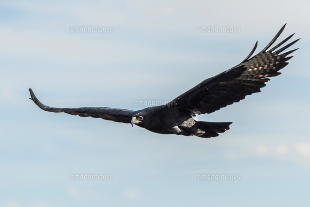 Africa, Zimbabwe, Matabeleland north. A Verreaux's eagle neat to the Victoria Falls