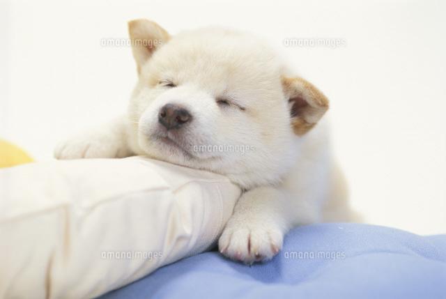 クッションの上で寝る犬(柴犬)