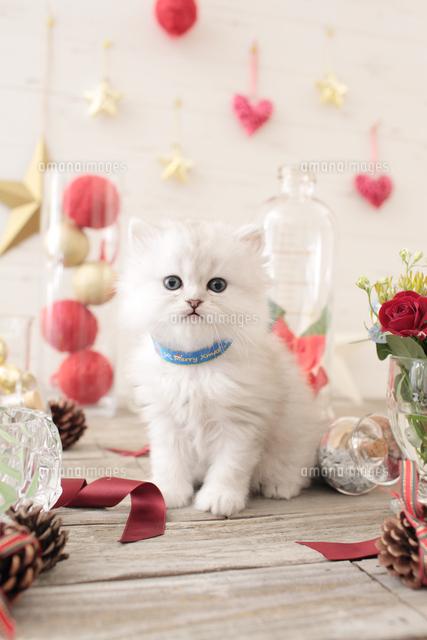 1匹の猫 ペルシャ(チンチラ シルバー)