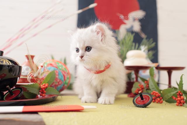 1匹の猫 ペルシャ(チンチラ シルバー)[21028023085]の写真素材