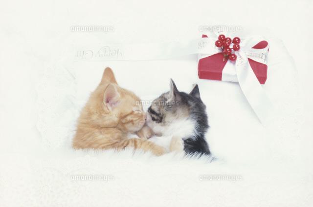 キスする2匹の猫日本猫とクリスマスギフト21030000062の写真素材