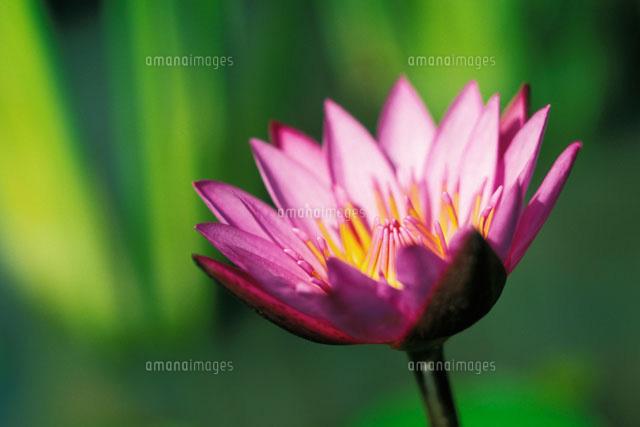 single pink purple water lily flower 22157006229 写真素材