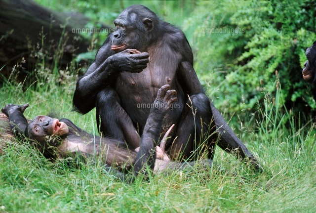 bonobo male and female about to mate captive 22206000514 写真
