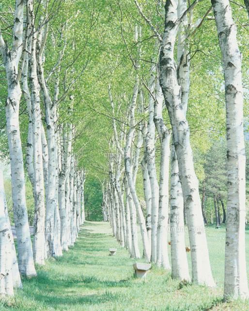 白樺並木と道[22276001733]の写...