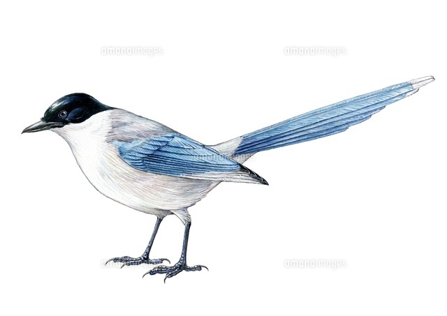 野鳥 オナガドリ22276006806の写真素材イラスト素材アマナイメージズ