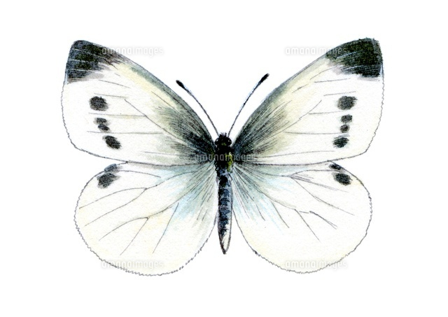 モンシロチョウ 蝶22276006877の写真素材イラスト素材アマナイメージズ
