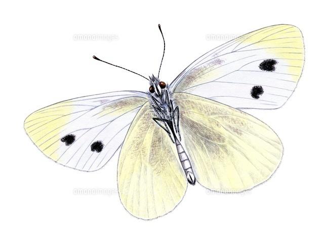 モンシロチョウ 蝶22276006879の写真素材イラスト素材アマナイメージズ