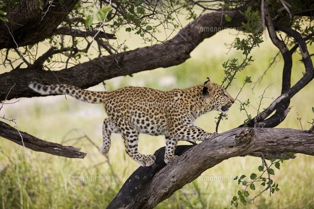 木登りするアフリカヒョウ22451034675の写真素材イラスト素材