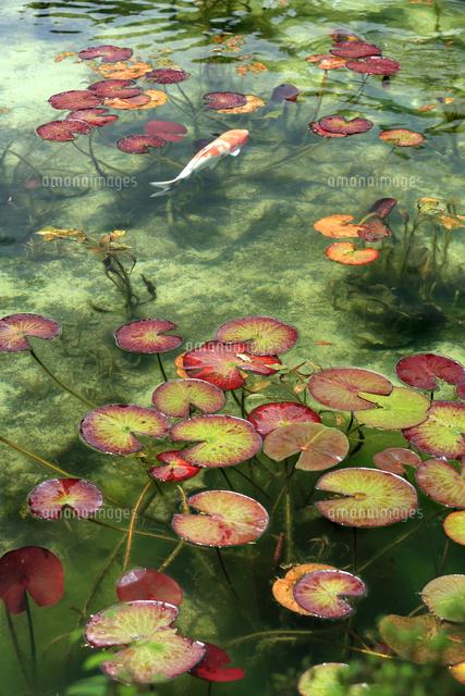湧き水が美しいモネの池を回遊する錦鯉と睡蓮の葉22500001471の写真