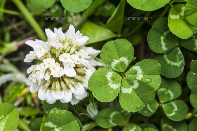 四つ葉のクローバーとシロツメクサの花22995000701の写真素材