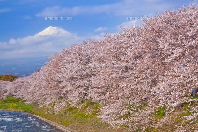 潤井川龍巌淵のサクラと富士山[2...