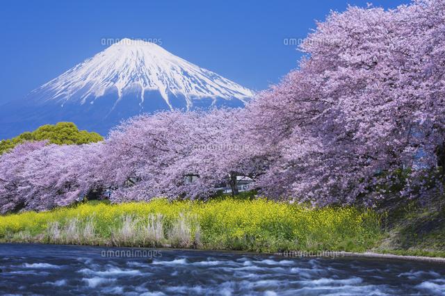 桜咲く潤井川龍巌淵より望む富士...