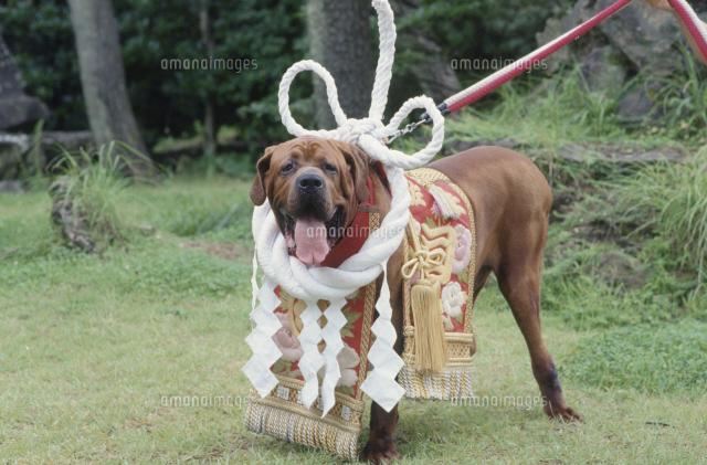 土佐犬 横綱25083032199の写真素材イラスト素材アマナイメージズ