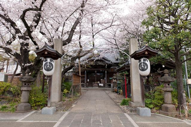 桜咲く慈眼院 澤蔵司稲荷[251670...
