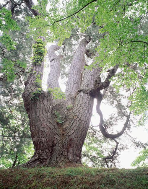 アイグロマツ 樹齢300年以上 弘...